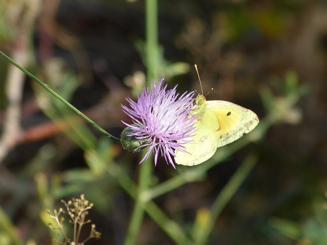 Mariposa, flor, polinización, naturaleza, primavera, fauna, flora, prado