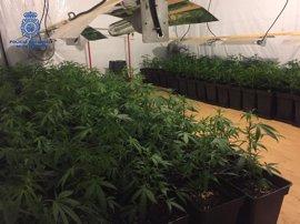 Sucesos.- Desmantelado un punto de cultivo acelerado de marihuana con más de 500 plantas en Gandia
