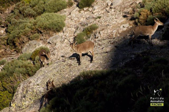 Cabras montesas en Guadarrama
