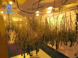 La Policía Nacional desmantela en Vélez-Málaga seis plantaciones de marihuana y se incauta de 700 plantas
