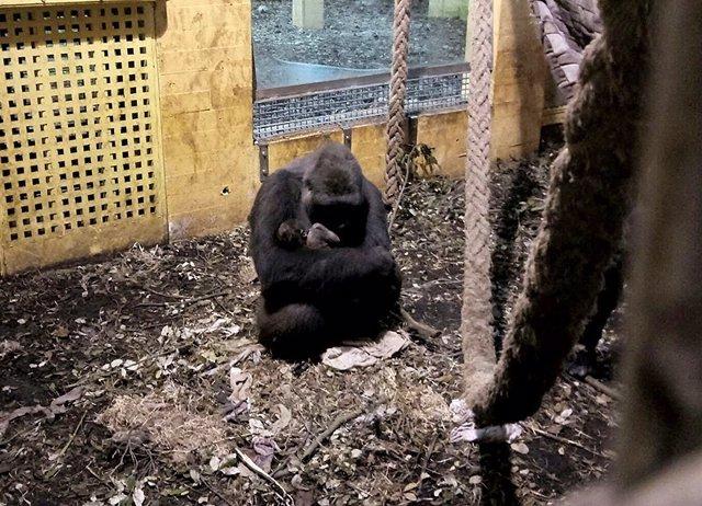 Nueva cría de gorila en Cabárceno