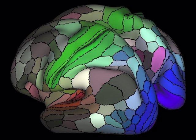 Parcelación de la corteza cerebral, cerebro