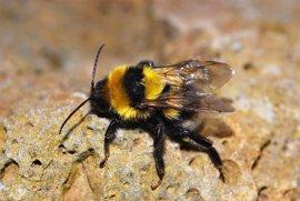 Un zoólogo de la USAL alerta de la desaparición de abejorros