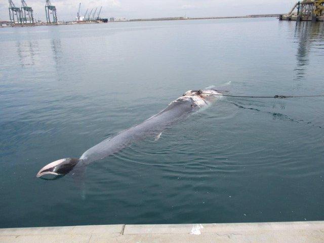 El cetáceao se adentró en el muelle