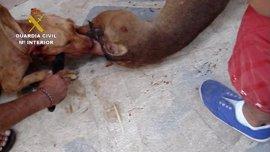 Investigan a cuatro personas por delitos de maltrato animal por organizar peleas de perros peligrosos