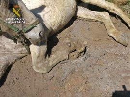 Investigado un vecino de Granada por maltrato de una yegua que hubo que sacrificar