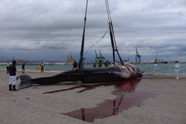 Empresas autorizadas por la APV eliminarán el cuerpo del cachalote hallado muerto en el Puerto de Sagunto