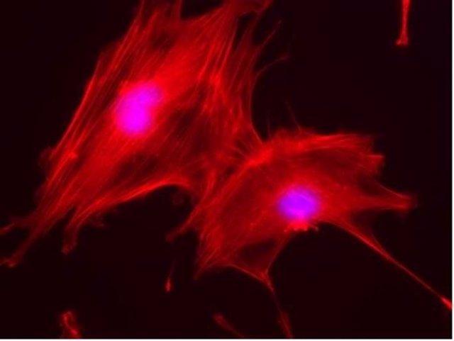 Osteoblastos de ratón creciendo sobre matrices 3D desarrolladas a partir de resi