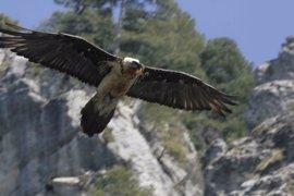 Exigen suspender la caza en el coto del Parque del Calar (Albacete) donde ha aparecido muerto un quebrantahuesos