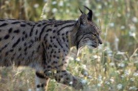 Junta invierte 250.000 euros en actuaciones de mejora de hábitat del lince ibérico en la Sierra Norte de Sevilla