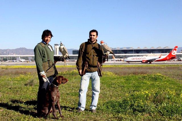 Aeropuerto de Málaga control de fauna comité rutas migratorias aves cetrería