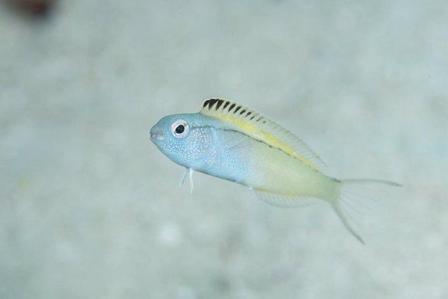 Nigrolineatus de Meiacanthus, pez