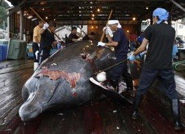 La flota ballenera japonesa regresa tras la caza de 333 ballenas en la Antártida