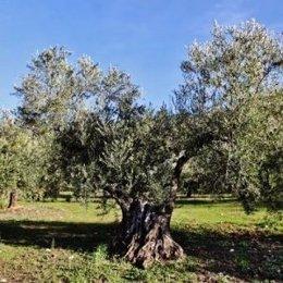 Uno de los olivos incluidos en el catálogo de apadrinamientos