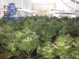Desmantelan una plantación de marihuana en una casa de Daimús