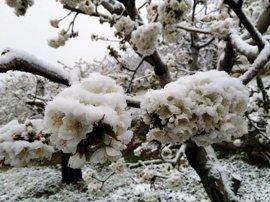UPA-UCE estima pérdidas de hasta el 60% en los cerezos del Jerte por las nevadas