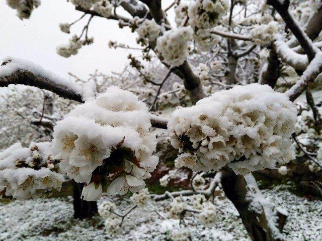 Cerezos afectados por las nevadas