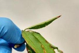 El Parlament pide colaboración de la UE y el Ministerio para contener la 'Xylella fastidiosa'