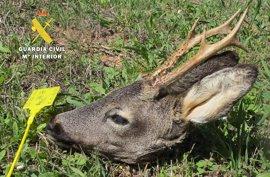 Sorprendido en Burgos un cazador con una cabeza de corzo sin precintar