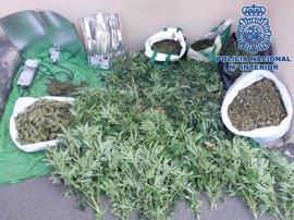 Desmantelado un cultivo con 80 plantas de marihuana en Telde (Gran Canaria)