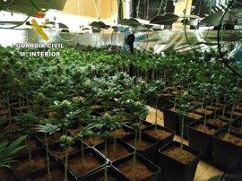 Incautadas 1.865 plantas de marihuana y detenidas dos personas en El Casar