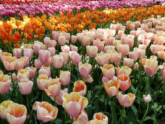 Tulipanes, flores, primavera