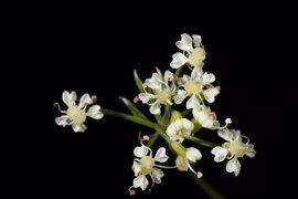 La Universidad busca la protección de un nuevo género de plantas que solo crecen en Somiedo y la sierra de Cazorla