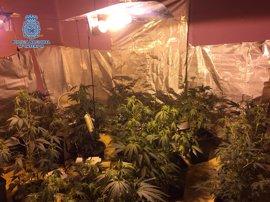 Desmantelada una plantación de marihuana en un piso de Mérida y detenidos sus dos moradores