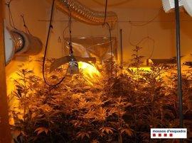 Tres detenidos por cultivar 500 plantas de marihuana y defraudar 5.000 euros de luz