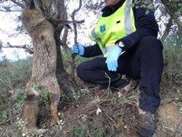 Un agente rural libera a una zorra que se había quedado atrapada en una trampa