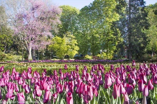 Tulipanes en el Real Jardin Botanico primavera