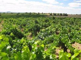 Junta inyecta 2,7 millones en el viñedo para transformar cerca de mil nuevas hectáreas