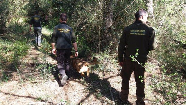 Agentes de medio ambiente y Guardia Civil buscan veneno para animales en Menorca