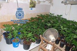 Detenida una pareja acusada de cultivar 213 plantas de marihuana en una vivienda en Vila-real