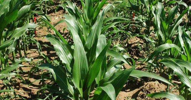 Cosecha de maíz