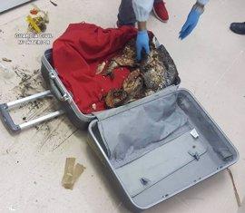Hallan en maletas de equipaje 400 kilos de pescado no apto para consumo humano en el ferry a Canarias