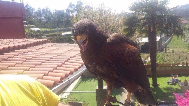 Águila capturada en Vigo