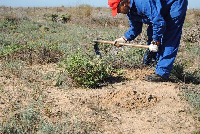 Trabajos contra la planta invasora onagra costera