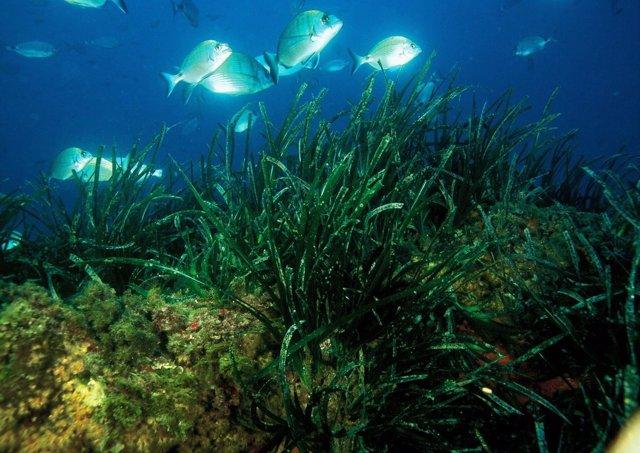 Posidonia Oceánica