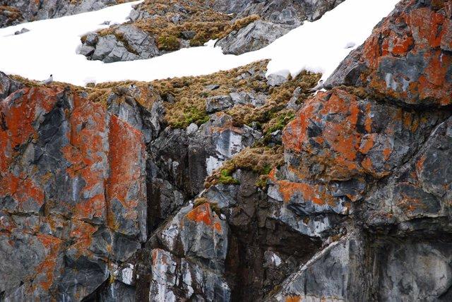 Deschampsia antarctica, en la Antártida.