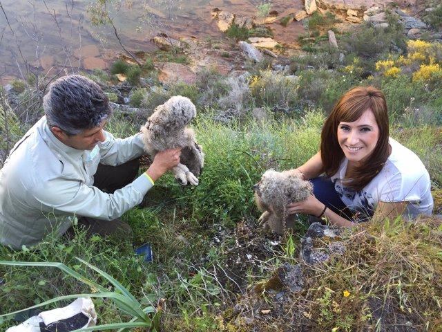 Integran en un nido con otras dos crías a un pollo de búho real