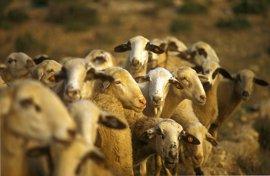 La Junta de Extremadura abona casi 25 millones de euros en ayudas a los sectores de ovino y caprino