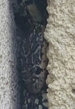 Imagen de la serpiente localizada en Alboraya (Valencia)