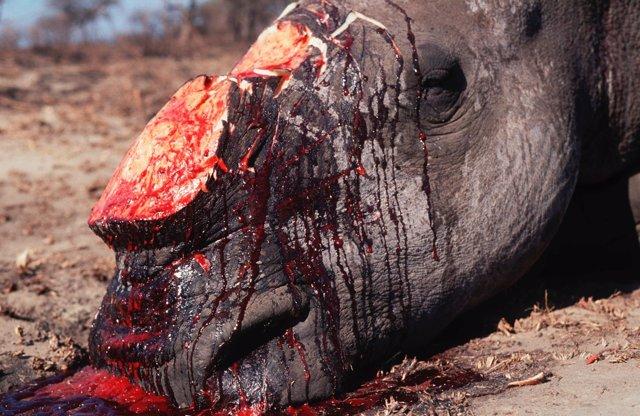 Rinoceronte africano, muerto por su cuerno