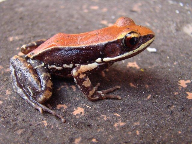 Rana Hydrophylax bahuvistara