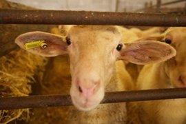 Detenido por robar 56 ovejas de explotaciones ganaderas en Solana del Pino