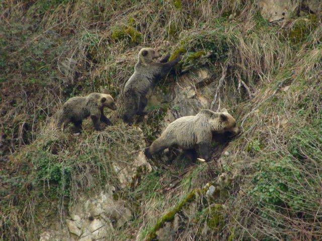 Osa con cría en la Cordillera Cantábrica