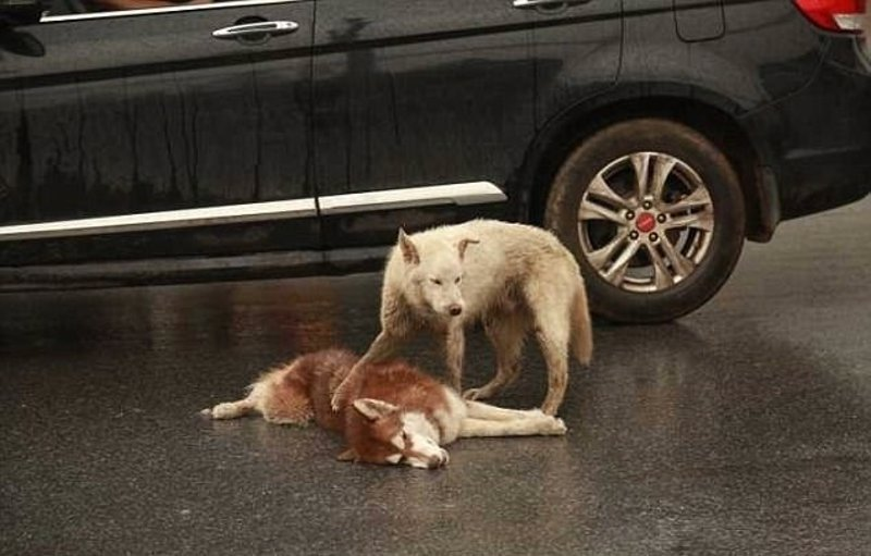 What Happens When A Dog Gets Hit By A Car