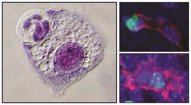 Fagocitosis celular