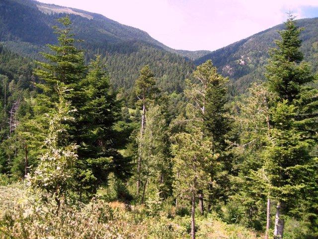 La riqueza genética de abetos del Pirineo mejora respuesta al cambio climático